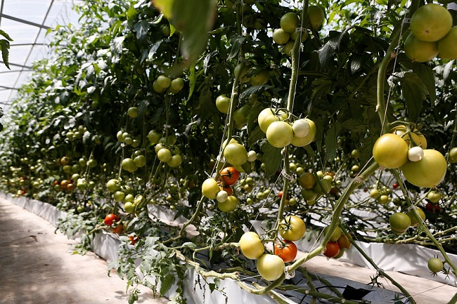 С начала года кубанским аграриям оказали господдержку на более чем 2,1 млрд рублей
