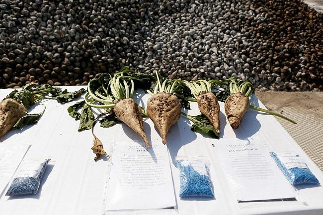 В Краснодарском крае уберут более 170 тыс. га сахарной свеклы