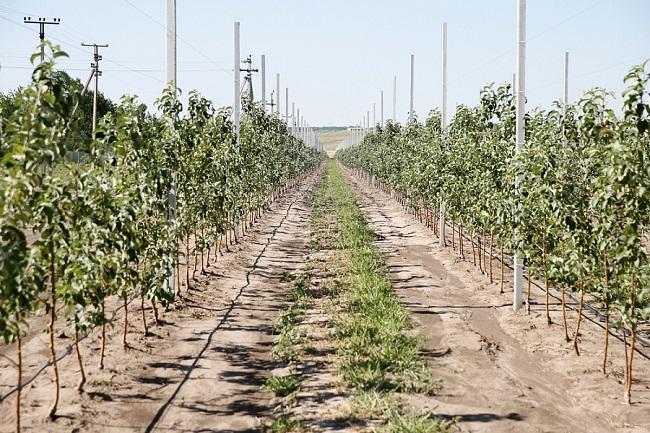 В Краснодарском крае годовой план по закладке молодых садов выполнен на 40%