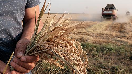 Выше урожайность риса  у новониколаевцев
