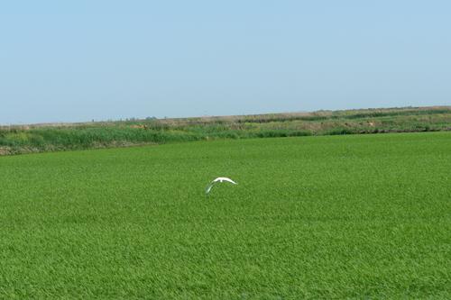 Несмотря на дожди, сев риса завершили