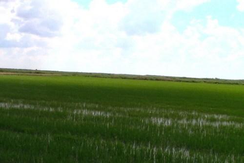 Комбайны работают в рисовых чеках