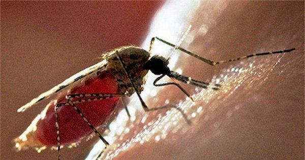 Болезни передают комары